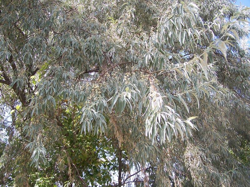 Die Blätter der Ölweide